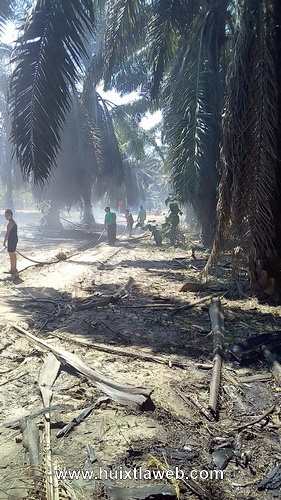 Se incendia cultivo de palma de aceite en Huixtla