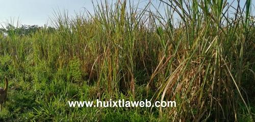 Lluvia y plagas afecta cultivos de caña en la región