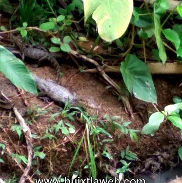 Localizan laguna con más de 40 cocodrilos en Huixtla