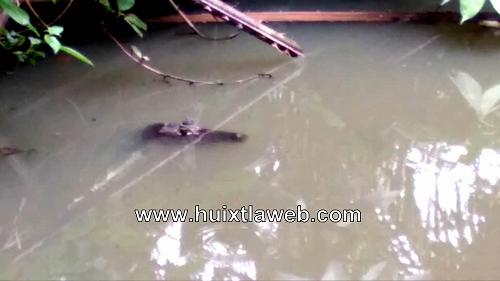 Inician rescate de cocodrilos en Huixtla